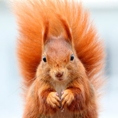 Squirrel image from pixabay